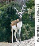 The Male Blackbuck  Antilope...