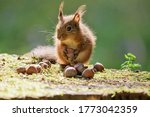 A Redheaded Cute Squirrel With...