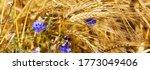 Cornflowers Over Wheat...