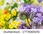 Wild Flower Lacy Phacelia...