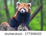 red panda bear | Shutterstock . vector #177308420
