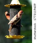 Two House Finches climb on the outside of  Finch Feeder