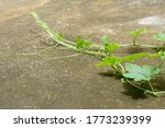 Green Leaves Of Winter Melon ...