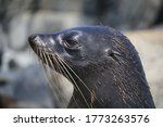 Long Nosed Fur Seal Close Up....