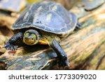 Cute Asian Box Turtle  Siamese...