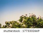 Flock Of Open Billed Stork  Or...