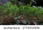 Branches Of Coniferous Shrub...