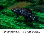 Everglades pygmy sunfish (Elassoma evergladei) less than half inch (13mm) long, native to the Florida Everglades.