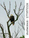 Adult Bald Eagle Perched On A...