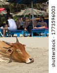 Small photo of India, Goa - 31 March 2018: Indian sacred cows come out to beach and lie there because wind blows off pesky flies. On background of beach chairs, palm canopy and vacationers