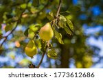 Unripe Green Pears. Young Pear...