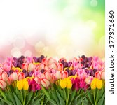 Spring Multicolored Tulips On...