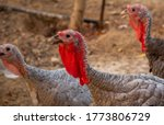 Various turkey in a poultry...