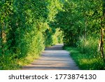 The Green Birch Tree Alley In...