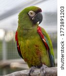 Small photo of The Military Macaw, Ara militaris ,, sits on a branch in a large aviary, has a red cockade on its forehead