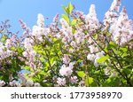 Lilac In Bloom. Common Lilac...