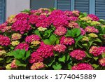 Beautiful Red Flowers Of...