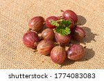 Small photo of Gooseberry Harvest, a crop of ripe gooseberries. Berries of red gooseberry close-up. Fresh gooseberries us background.