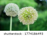 Decorative Onion Plant On...