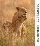 Lioness And Her Cub In The...