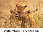 Lioness With Her Cubs Clicked...
