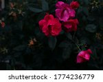 Knockout Roses In Front Of A...