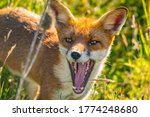 Yawning Red Fox In The Long...