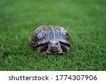 Desert Box Turtle  Male  Found...