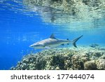 a grey reef shark  carcharhinus ... | Shutterstock . vector #177444074