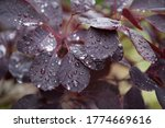 Rain Drops Sitting On A Cotinus ...