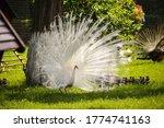 White Peacock  Pavo Cristatus ...