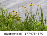 Black-eyed susans with selective focus taken along the water