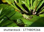Two Green Frogs Sit On Lily...