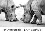 Two Beautiful Wild White Rhinos ...