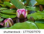 Closed Water Lily In Pond In...