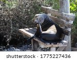 A Sea Lion Sits On A Bench Wit...