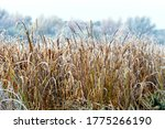Frost Covered Dry Reeds On The...