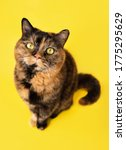 Funny Tortoiseshell Cat Looking ...