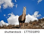 vicuna on andes in salta... | Shutterstock . vector #177531893