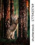 An American Cougar  Puma...