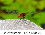 Red Dragonfly On A Wooden Edge...
