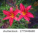 Two Wet Red Flowers Of Day Lily ...