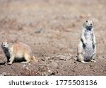 A Couple Of Prairie Dogs