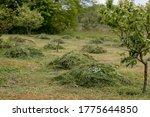 Heaps Of Mowed Hay In A June...