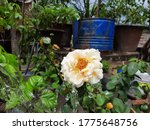 a image of yellowwhite rose... | Shutterstock . vector #1775648756