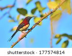 a cute black throated sunbird ... | Shutterstock . vector #177574814