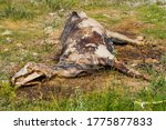 The Corpse Of A Horse In The...