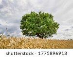 Lonely Oak Growing In A Field...