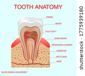 lustration tooth anatomy vector ... | Shutterstock .eps vector #1775939180