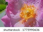 Blooming wild pink rosehip flower